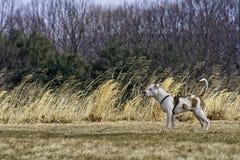 在麦子草附近的白色狗 库存照片