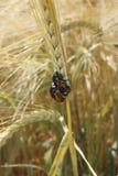 在麦子钉的两只甲虫 免版税库存照片