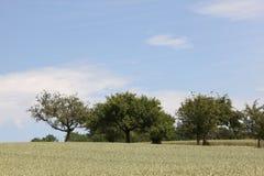 在麦田后的树 库存图片