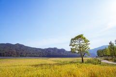 在麦田的一棵树 免版税库存照片