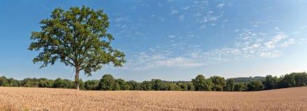 在麦田的孑然绿色树与蓝色多云天空 Panoram 免版税库存图片