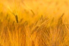 在麦田的惊人的不可思议的金黄阳光 麦子庄稼摇动 免版税库存照片