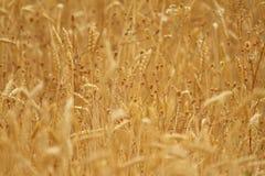 在麦田的杂草 免版税库存图片
