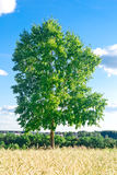 在麦田的结构树 库存照片