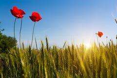 在麦田的美好的日落 农业横向 库存照片