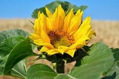 在麦田的背景的孤立向日葵 库存照片