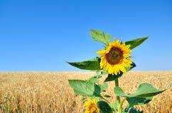 在麦田的背景的孤立向日葵 免版税库存图片