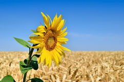 在麦田的背景的孤立向日葵 库存图片