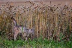 在麦田的警惕猫狩猎老鼠在夏天晚上 库存图片