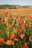 在麦田的野生红色夏天鸦片 免版税库存图片