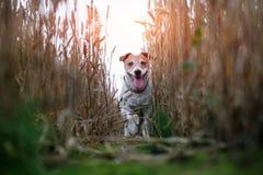 在麦田路的杰克罗素狗 免版税库存图片