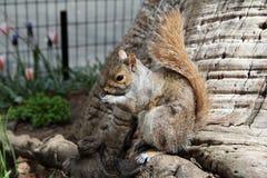 在麦迪逊广场的一只灰鼠 图库摄影