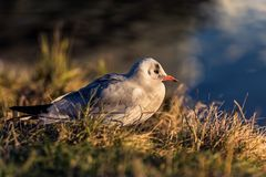 在黄昏的海鸥 库存照片