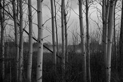 在黄昏的白桦树皮树 免版税库存图片