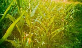 在黄昏的麦地 库存照片
