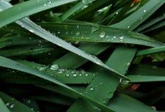 在黄水仙叶子的雨珠 库存图片