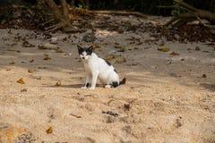 在黄沙海滩的白色恶意嘘声 离群猫在热带海岛 入侵的种类在亚洲 短尾巴亚洲全部赌注 库存照片