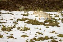 在黄石国家公园狩猎的土狼在雪 库存照片