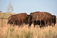 在黄石国家公园的北美野牛 免版税库存图片