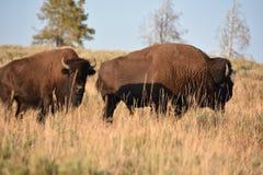 在黄石国家公园的北美野牛 库存图片