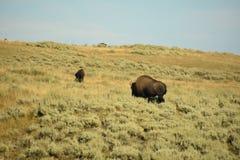 在黄石国家公园的北美野牛 免版税库存照片
