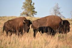 在黄石国家公园的北美野牛 库存照片