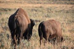 在黄石国家公园的北美野牛 图库摄影