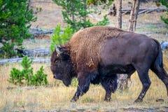 在黄石国家公园,怀俄明的领域的北美野牛 免版税库存图片