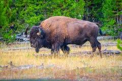 在黄石国家公园,怀俄明的领域的北美野牛 免版税库存照片