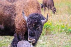 在黄石国家公园,怀俄明的领域的北美野牛 库存照片