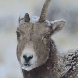 在黄石暴风雪的Bighorn母羊 库存图片