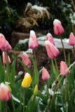 在黄色之下的桃红色雪郁金香 库存照片