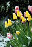 在黄色之下的桃红色雪郁金香 库存图片