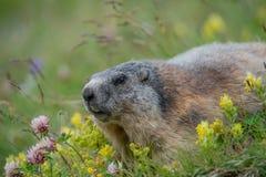 在黄色之间的一个草甸的高山土拨鼠rattleweed和红三叶草 免版税库存图片