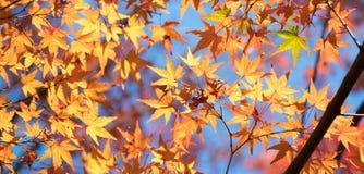 在黄色事假中的一片绿色枫叶和明亮的蓝天在秋天 免版税库存图片