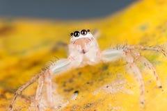 在黄色叶子极端关闭-宏观照片的跳跃的蜘蛛  免版税图库摄影