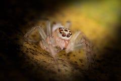 在黄色叶子极端关闭-宏观照片的跳跃的蜘蛛  免版税库存图片