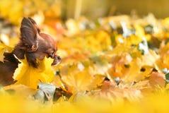在黄色叶子的奇瓦瓦狗 图库摄影