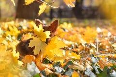 在黄色叶子的奇瓦瓦狗 库存图片
