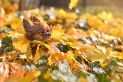 在黄色叶子的奇瓦瓦狗 免版税库存照片