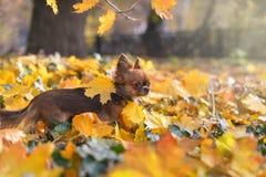 在黄色叶子的奇瓦瓦狗 库存照片