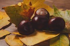 在黄色叶子的栗子 翠菊许多秋天的紫红色心情粉红色 免版税库存照片