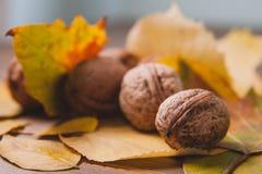在黄色叶子的核桃 温暖的秋天图片 库存照片
