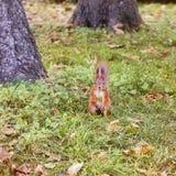 在黄色叶子的美丽的灰鼠 红松鼠 美好的秋天 你好冬天 春天 免版税图库摄影