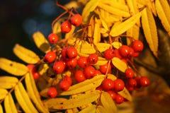 在黄色叶子背景的红色山脉灰  秋天 图库摄影