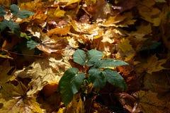 在黄色叶子背景的绿色灌木  秋天背景特写镜头上色常春藤叶子橙红 库存照片