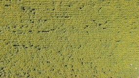 在黄色向日葵上下风景  向日葵领域美妙的农村风景在晴天 寄生虫鸟瞰图 库存照片