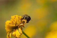 在黄色向日葵登陆的小的昆虫 库存图片
