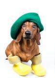 在黄色启动的狗 库存照片