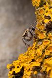 在黄色地衣的蜘蛛 库存图片